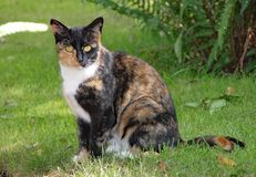 Un gato de calicó se sienta en la hierba en un día de veranos caliente fotografía de archivo