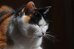 Un gato de calicó toma el sol en la luz del sol foto de archivo libre de regalías