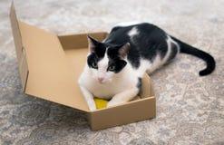 Un gato de casa hermoso en una caja foto de archivo libre de regalías