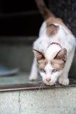 Un gato de dos tonos que camina abajo de escaleras concretas Imágenes de archivo libres de regalías