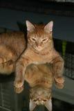 Un gato de gato atigrado anaranjado ve que es reflexión Imagen de archivo
