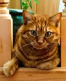 Un gato de gato atigrado del jengibre Mirada hermosa y el gato Fotografía de archivo