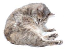 Un gato de la preparación Fotos de archivo libres de regalías