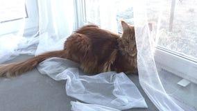 Un gato de mármol rojo grande del Maine-mapache miente por la ventana detrás de una cortina blanca y de las miradas de Tulle alre almacen de video