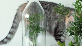 Un gato del animal doméstico huele las plantas verdes en los potes de cristal bajo cubiertas almacen de video