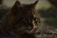 Un gato del cyperse Fotos de archivo libres de regalías