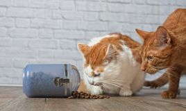 Un gato del jengibre y un gato de gato atigrado que roba la comida de un envase de comida Imagenes de archivo