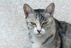 Un gato determinado del oído agazapado abre dos ojos Imágenes de archivo libres de regalías
