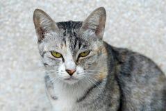 Un gato determinado del oído agazapado abre dos ojos Foto de archivo