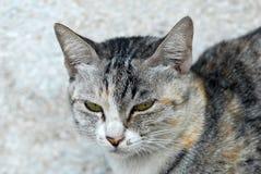 Un gato determinado del oído agazapado abre dos ojos Fotos de archivo