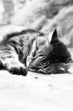 Un gato el dormir Foto de archivo libre de regalías