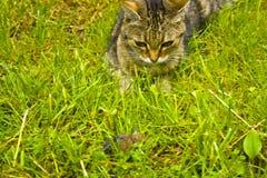 Un gato en la caza en la hierba Un gato momentos antes del ataque imágenes de archivo libres de regalías