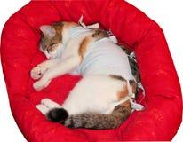 Un gato enfermo con un vendaje después de que sea la operación imágenes de archivo libres de regalías