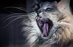 ¿Un gato enojado? Imagen de archivo