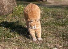 Un gato gordo lindo apenas se recupera de una siesta fotografía de archivo