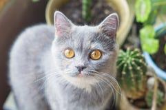 Un gato gris agradable cerca de la flor del cactus Imagen de archivo