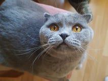 Un gato gris con los ojos amarillos grandes está mirando para arriba Retrato imagenes de archivo