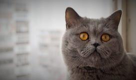Un gato gris con los ojos anaranjados fotografía de archivo