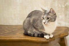 Un gato gris joven con un pecho blanco con una mirada enfocada y una cara que pone en contraste se sienta en una tabla de roble c fotos de archivo libres de regalías