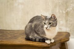 Un gato gris joven con un pecho blanco con una mirada enfocada y una cara que pone en contraste se sienta en una tabla de roble c imagenes de archivo