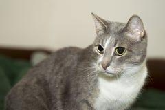 Un gato gris joven con un primer blanco del pecho con una mirada concentrada y una cara que pone en contraste fotografía de archivo libre de regalías