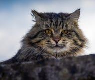 Un gato gris que mira a escondidas en de superior una pared gris foto de archivo libre de regalías