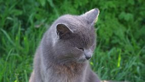 Un gato gris se sienta orgulloso en la hierba verde solamente almacen de metraje de vídeo