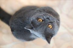 Un gato hermoso con los ojos grandes fotografía de archivo libre de regalías