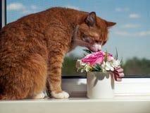 Un gato hermoso del jengibre con las rayas blancos y negros se sienta en el alf?izar y la mirada de un poco lejos de la c?mara Co imagen de archivo libre de regalías