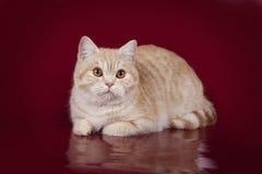 Un gato hermoso del melocotón miente en un fondo rojo del estudio Foto de archivo libre de regalías