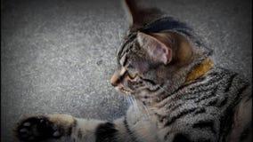 Un gato hermoso gris que mira alrededor