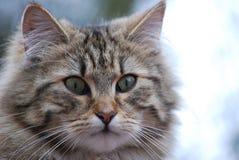 Un gato irlandés Foto de archivo libre de regalías