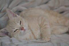 Un gato joven del color del melocot?n est? mintiendo en la cama imagenes de archivo