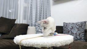 Un gato joven está jugando con posts de la garra almacen de video