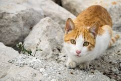Un gato lindo del jengibre Fotos de archivo