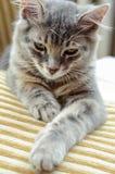 Un gato lindo en el sofá Imagenes de archivo