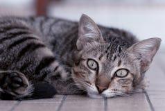 Un gato lindo que protagoniza con los ojos agudos Imagen de archivo libre de regalías