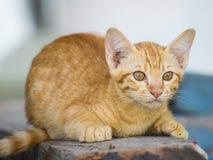 Un gato marrón-anaranjado Fotografía de archivo libre de regalías
