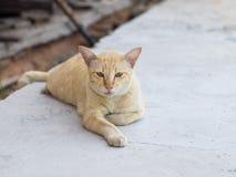 Un gato marrón-anaranjado gordo Fotos de archivo libres de regalías