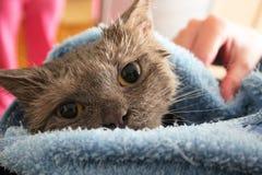 Un gato mojado envuelto en una toalla Foto de archivo
