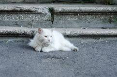 Un gato mullido blanco con los ojos verdes miente en la tierra cerca de los pasos Foto de archivo