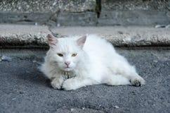 Un gato mullido blanco con los ojos verdes miente en la tierra cerca de los pasos Fotos de archivo