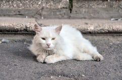 Un gato mullido blanco con los ojos verdes miente en la tierra cerca de los pasos Imagen de archivo libre de regalías