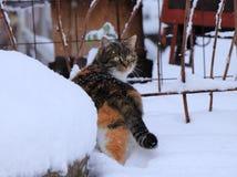 Un gato nacional coloreado multi que camina en nieve y que mira en cámara nieva Una piel que intenta del gato debajo de un poco d fotografía de archivo libre de regalías