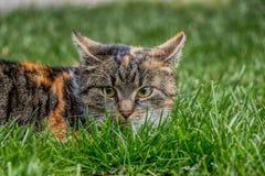 Un gato nacional maravilloso nombró Liza ocultado en la hierba que esperaba un cierto entretenimiento Ella tiene ojos verdes muy  foto de archivo libre de regalías