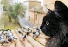 Un gato negro con los ojos verdes mira las palomas primer ¡De Ð en el foco Imagen común imagen de archivo