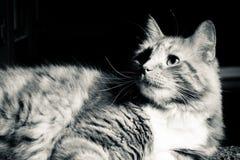 Un gato peludo que pone en un piso Foto de archivo libre de regalías