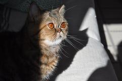 Un gato persa en un sofá imagen de archivo