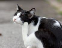 Un gato que limpia su piel Imagen de archivo