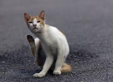 Un gato que limpia su piel usando su pierna Imagen de archivo libre de regalías